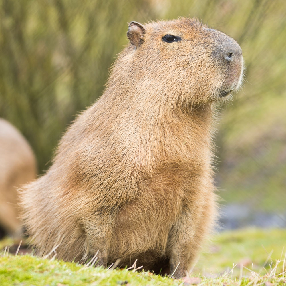 Image result for capybara
