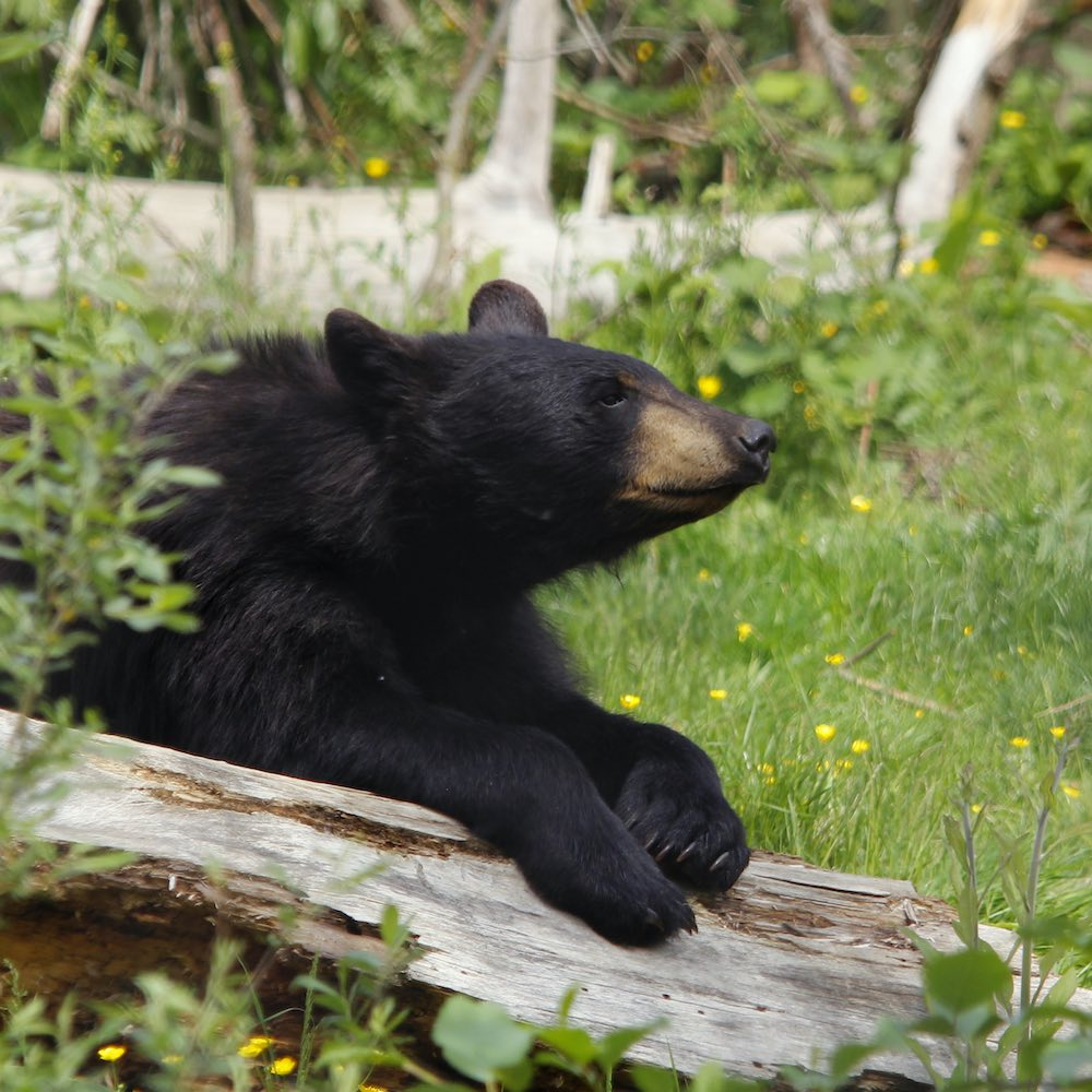 Balck bears at the zoo