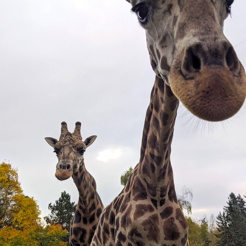 Giraffes at the Greater Vancouver Zoo